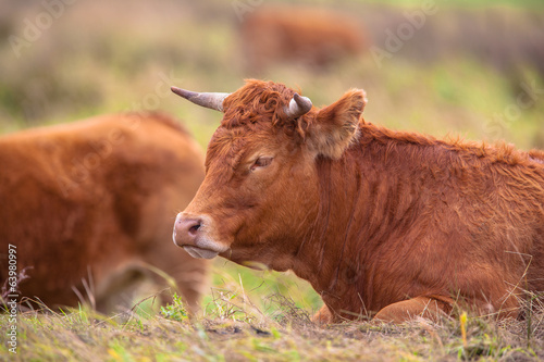 Photo  Cow lying in the Field
