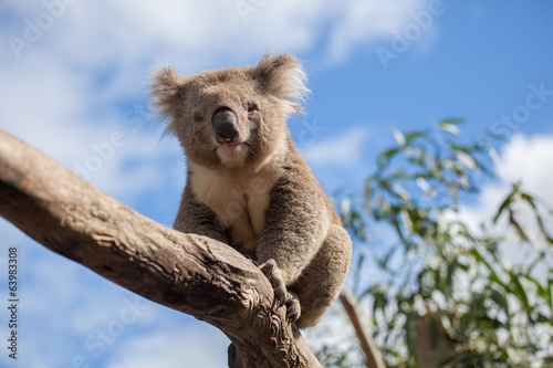 Spoed Fotobehang Koala Portrait of Koala sitting on a branch