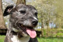 Staffordshire Terrier Cross Lurcher Dog