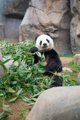 Fototapeta Cute Giant Panda eating bamboo