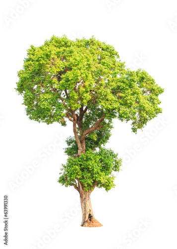 Jambul (Syzygium cumini) tree in Thailand isolated on white