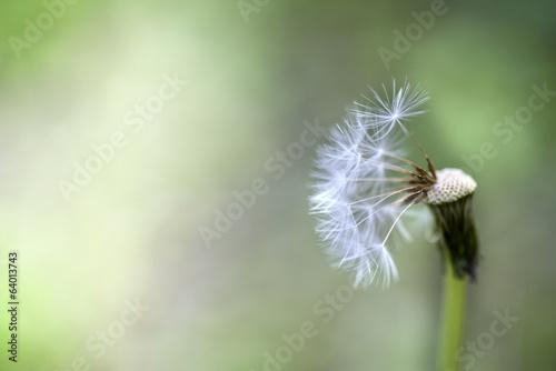 bialy-wiosna-dandelion-kwiat
