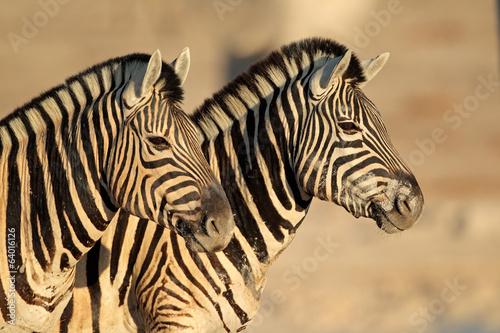 Acrylic Prints Zebra Plains Zebras portrait, Etosha National Park