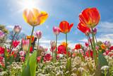 Łąka z tulipanami