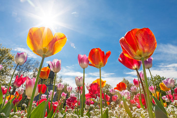 fototapeta niski kąt tulipany