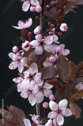 ozdobne-kwiaty-sliwki