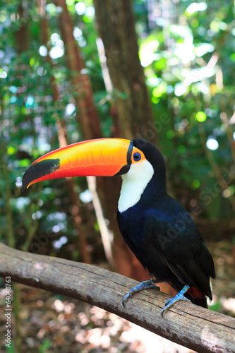 toco-toucan-common