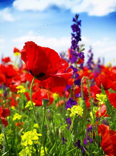 Fototapeta premium maki kwitnące na dzikiej łące