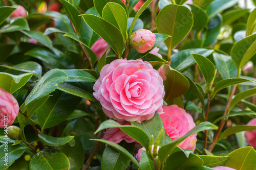 Pink Camellia sasanqua flower with green leaves Poster Mural XXL