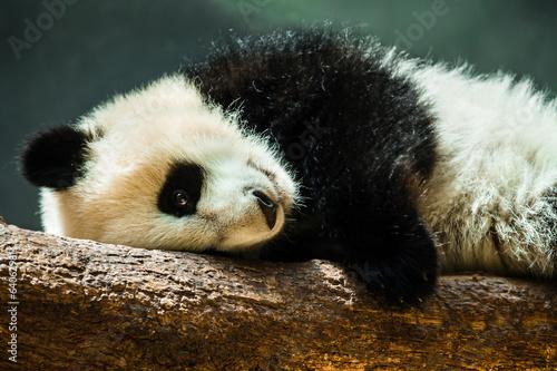 Baby panda cub resting on log Canvas Print