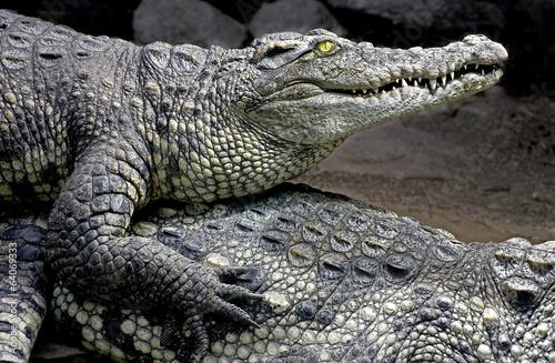 Papiers peints Crocodile Siam crocodile