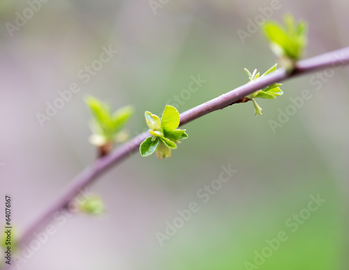 Poster Printemps the opened buds on a tree branch