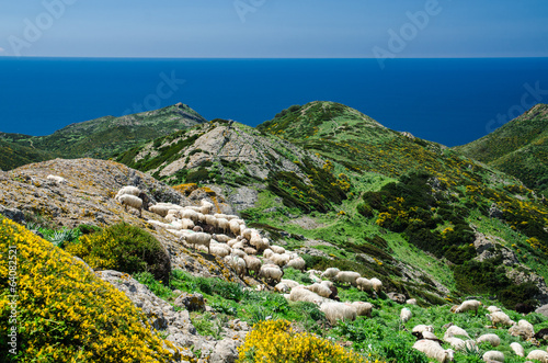 Photo  Grazing sheep on the coast of Sardinia