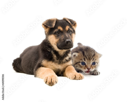 Poster Chien striped kitten and puppy