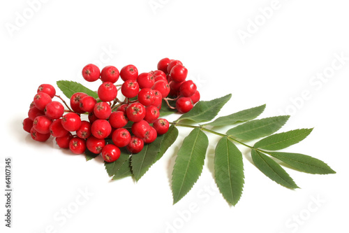 Fotografie, Obraz  Branch of ashberry with green leaf