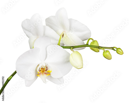 Tuinposter Orchidee Three day old white orchid isolated on white background.