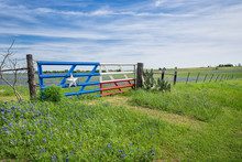 Texas Bluebonnet Field And A F...