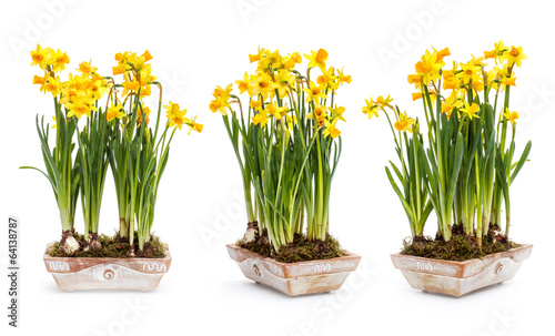 Fotomural Narcissus flowers
