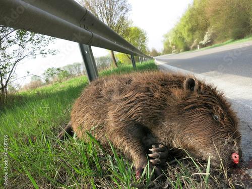 Valokuva  Wildunfall - toter Biber von einem Auto angefahren