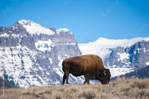 Spoed Foto op Canvas Bison Bison Grazing near Snow-Capped Peaks