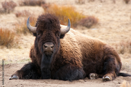 Tuinposter Bison Lounging Bison