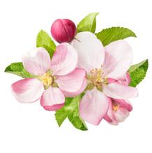 Apple Tree Blossoms. Spring Fl...