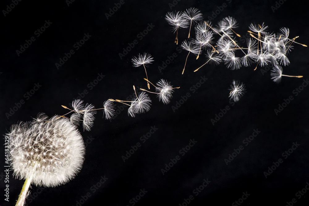 Fototapety, obrazy: Blowballs in to the wind