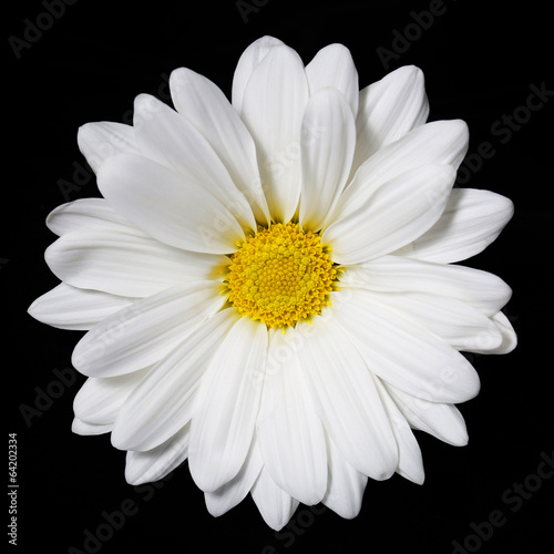 Foto op Canvas Madeliefjes Chamomile flower over black background. Daisy.