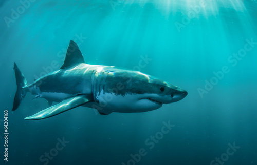 Great white shark underwater.