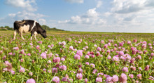 Cow On Clover Flowers Meadow
