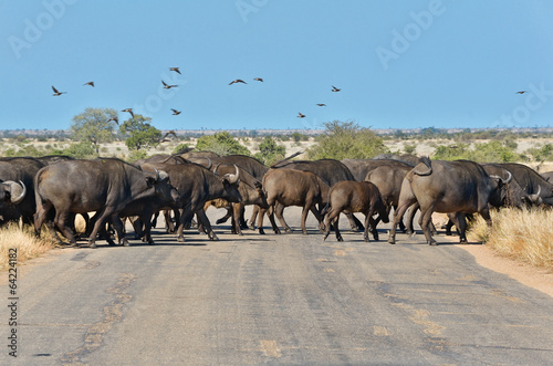 Staande foto Afrika Buffalos crossing road in Kruger national park, South Africa