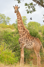 African Giraffe In Kruger National Park, Safari In South Africa