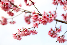 Wild Himalayan Cherry  In Doi Mae Salong, Chiang Rai, Thailand
