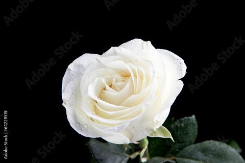 White rose Fototapeta