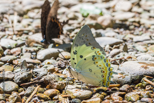 Photo  Jewelled Nawab butterfly