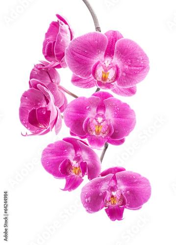 zwisajaca-rozowa-orchidea