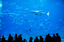Whale Sharks Swimming In Aquar...
