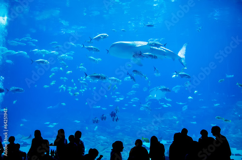 Fototapeta premium whale sharks swimming in aquarium with people observing