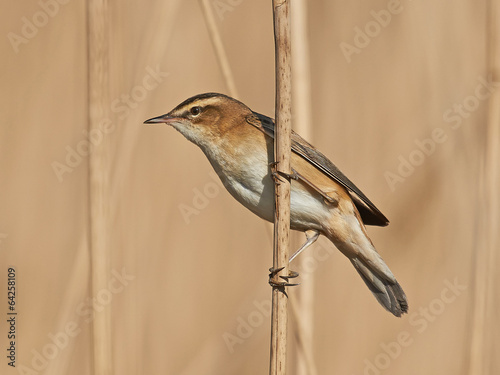 Fotografie, Obraz  Sedge Warbler (Acrocephalus schoenobaenus)