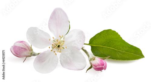 Plakat Kwiaty jabłoni