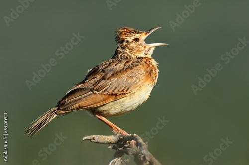 Rufous-naped lark (Mirafra africana) calling Tablou Canvas