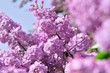Purple Lilac flowers in spring