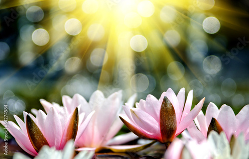 Poster de jardin Nénuphars water lily background