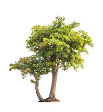 Sindora Siamensis, Tropical Trees In Thailand
