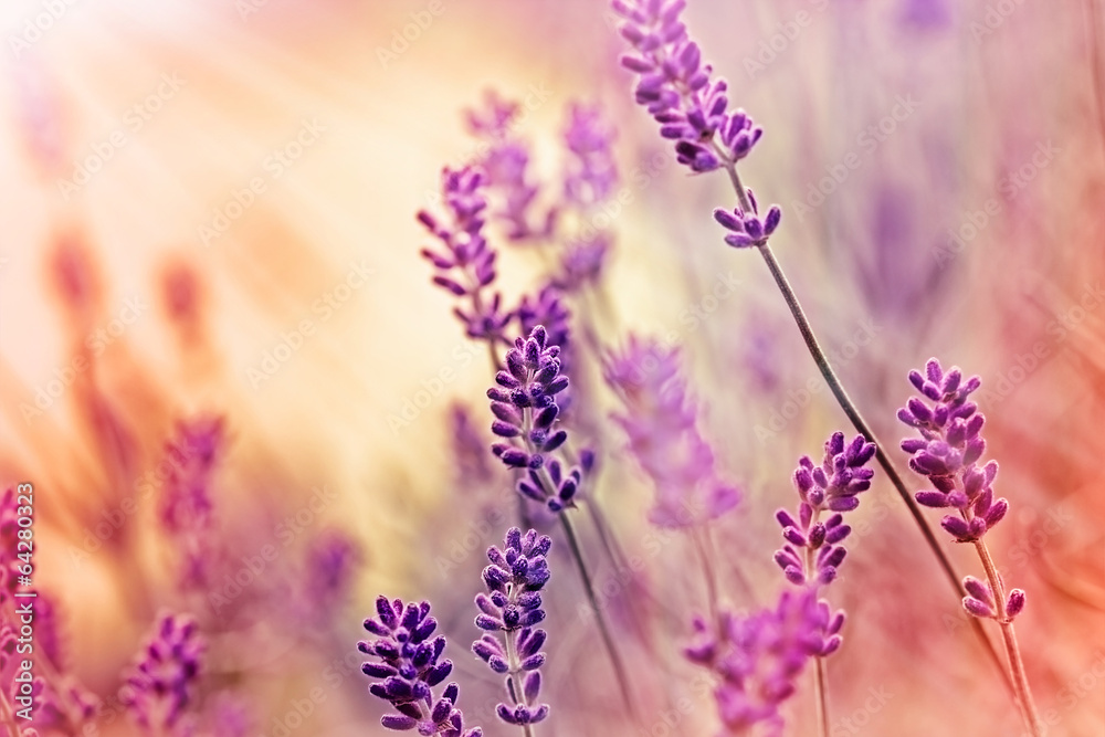 Fototapeta Soft focus on beautiful lavender and sun rays - sunbeams