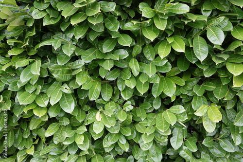 Fotomural jardinage - texture haie