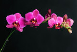 Fototapeta Orchid - pink orchid on black