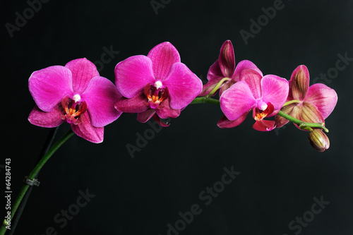 Fotografia, Obraz pink orchid on black