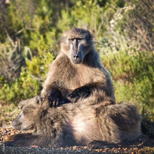 Fényképezés  Baboons, Cape of Good Hope, South Africa