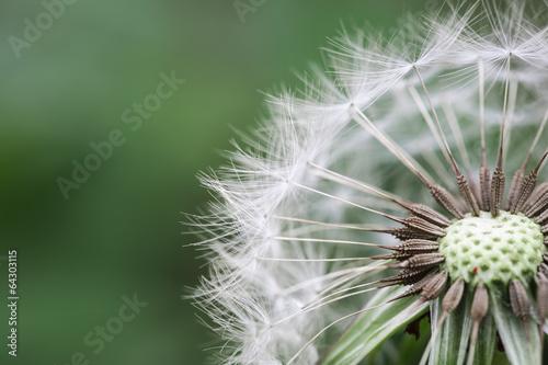 zbliżenie piękny dandelion